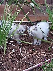 Lynx ragdoll kittens Broken Hill Central Broken Hill Area Preview
