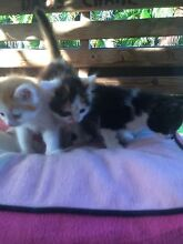 Kittens ready for good homes 7 wks Mango Hill Pine Rivers Area Preview