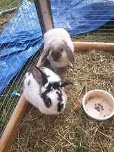 2 female lop eared rabbits Cessnock Cessnock Area Preview