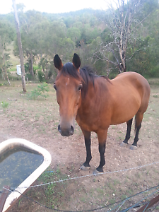 """15"""" thoroughbred mare project horse Withcott Lockyer Valley Preview"""