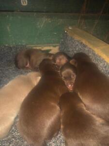 Kelpie Puppies