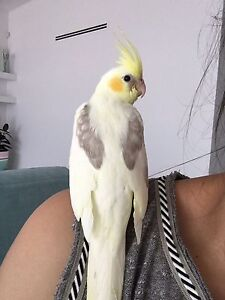 LOST COCKATIEL ELIZABETH HILLS Cecil Hills Liverpool Area Preview