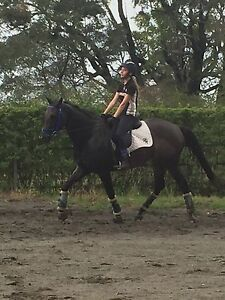 Stunning Gelding Capalaba Brisbane South East Preview