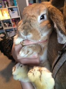 Holland lop bunny for rehome.