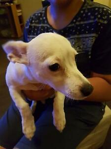 Chihuahua female X Liverpool Liverpool Area Preview
