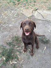 Female Labrador Berwick Casey Area Preview