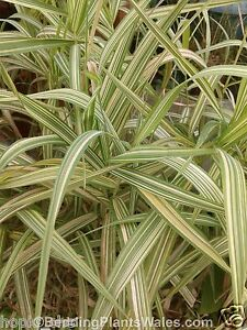 20 ribbon grass plants gardeners garters reed pond koi for Pond reeds for sale