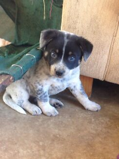 Cattle Dog Puppies Rosewood Ipswich City Preview
