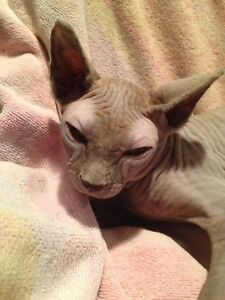 SPHYNX KITTEN...ready for Christmas!!!