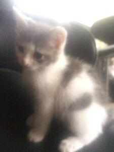 Ragdoll X kitten Tootgarook Mornington Peninsula Preview