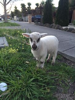 Lamb for sale 7 weeks old