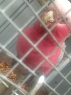 Galah his name is max