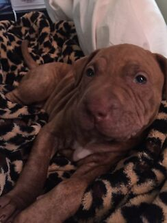Pure breed Staffy pup St Clair Penrith Area Preview