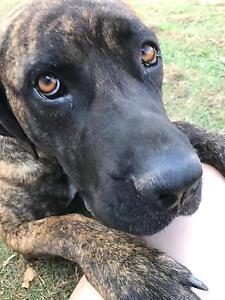 Bindi 2 year old Mastiff x American Bulldog Ipswich Ipswich City Preview