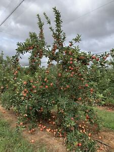 Apple Orchard looking for pickers