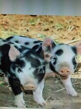 Mini piglets for sale Forest Reefs Blayney Area Preview