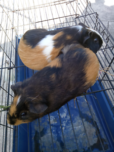 Guinea pig for sale. Southern River Gosnells Area Preview