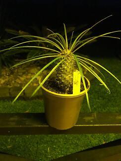 Madagascar Palm (Pachypodium geayi)