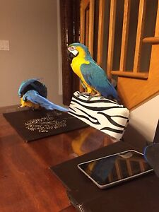 Macaws blue and gold for sale  Coco and Chanel West Island Greater Montréal image 3
