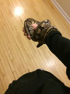 Female Ball Python with everything
