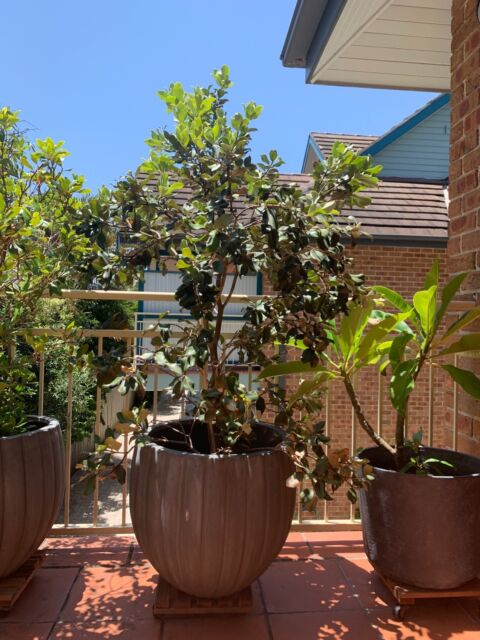 New Zealand Christmas Tree Pohutukawa Plants Gumtree