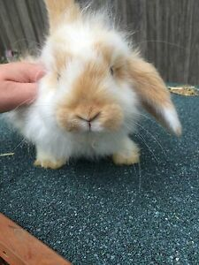 Mini cashmere lop Narre Warren Casey Area Preview