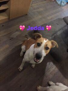 Jedda Cattle x 1yr old female