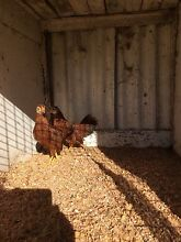 Leghorn pullets mixed colours bantams Dungog Dungog Area Preview
