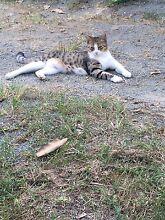 Bengal  + kittens Loganlea Logan Area Preview
