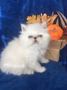 PURE BREED HIMALAYANS FLAT FACE KITTENS