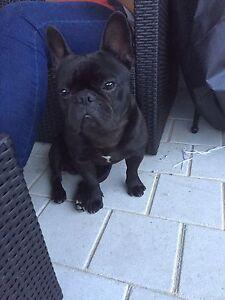 French bulldog for sale Baldivis Rockingham Area Preview