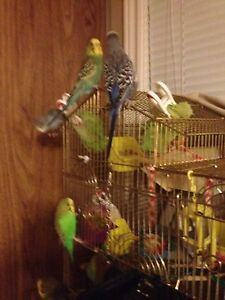 BUDGIES FOR SALE CHEAP with Cage & All Supplies