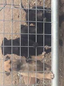 Bull terrier x shar pei Dangarsleigh Armidale City Preview
