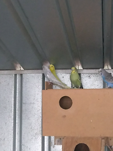 Baby budgies Sorell Sorell Area Preview