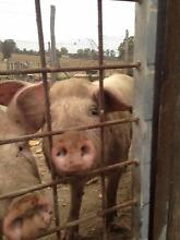 Alot of pigs for sale Rutherford Maitland Area Preview