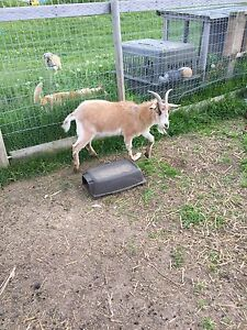 Two pet Pygmy goats for sale