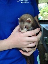 Sable female ferret Upper Lansdowne Greater Taree Area Preview