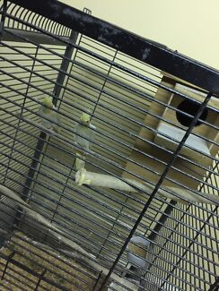 Cockatiels pair with cage and breeding box