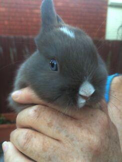 VM Netherland Dwarf Male Rabbit