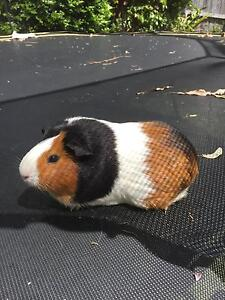 Guinea pigs x3 and hutch Epping Ryde Area Preview