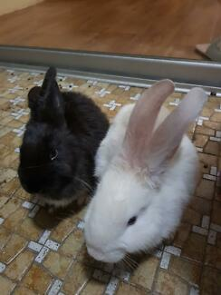 Only one rrabbit for sale, $20, the black one, cute and friendly