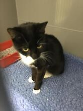FOUND BLACK AND WHITE FEMALE CAT Ballajura Swan Area Preview