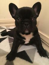 Purebred French bulldog puppies for sale Keysborough Greater Dandenong Preview