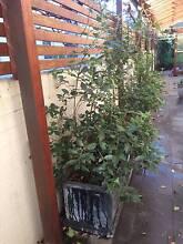 Planter box with good quality soil Leichhardt Leichhardt Area Preview