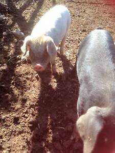 PIGS  FOR SALE Wingham Greater Taree Area Preview