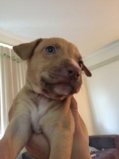 Amstaf x kelpie puppies x6 for sale