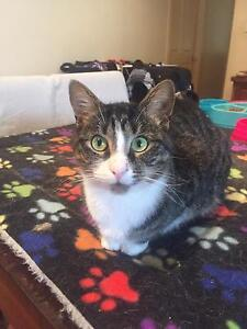Beautiful tabby male looking for indoor home Taylors Lakes Brimbank Area Preview