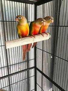 Young Pineapple Conures Strathalbyn Alexandrina Area Preview