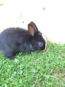 Netherland dwarf rabbits Ballarat Central Ballarat City Preview
