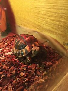 2 year old Hermann tortious for sale